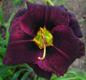 "Liliowiec ""Super Purple"""