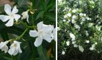 "Oleander ""Toulouse"""
